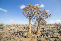 The quiver tree, or aloe dichotoma, or Kokerboom, in Namibia. The quiver tree, or aloe dichotoma, or Kokerboom, one of the most interesting and characteristic Stock Images