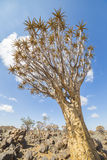 The quiver tree, or aloe dichotoma, or Kokerboom, in Namibia Royalty Free Stock Image