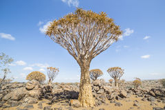 The quiver tree, or aloe dichotoma, or Kokerboom, in Namibia Stock Photography