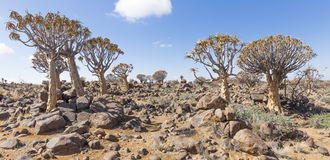 The quiver tree, or aloe dichotoma, or Kokerboom, in Namibia. The quiver tree, or aloe dichotoma, or Kokerboom, one of the most interesting and characteristic Royalty Free Stock Image