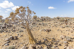 The quiver tree, or aloe dichotoma, or Kokerboom, in Namibia. The quiver tree, or aloe dichotoma, or Kokerboom, one of the most interesting and characteristic Stock Photo