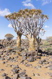 The quiver tree, or aloe dichotoma, or Kokerboom, in Namibia. The quiver tree, or aloe dichotoma, or Kokerboom, one of the most interesting and characteristic Stock Image