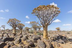 The quiver tree, or aloe dichotoma, or Kokerboom, in Namibia Royalty Free Stock Photography