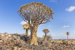 The quiver tree, or aloe dichotoma, or Kokerboom, in Namibia. The quiver tree, or aloe dichotoma, or Kokerboom, one of the most interesting and characteristic Royalty Free Stock Photography