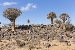 The quiver tree, or aloe dichotoma, or Kokerboom, in Namibia. The quiver tree, or aloe dichotoma, or Kokerboom, one of the most interesting and characteristic Royalty Free Stock Photo