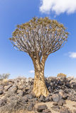 The quiver tree, or aloe dichotoma, or Kokerboom, in Namibia. The quiver tree, or aloe dichotoma, or Kokerboom, one of the most interesting and characteristic Royalty Free Stock Images