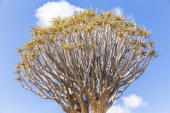 The quiver tree, or aloe dichotoma, or Kokerboom, in Namibia Stock Images