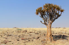 Quiver tree (Aloe dichotoma) in the Namib desert. Landscape. Namibia Royalty Free Stock Images