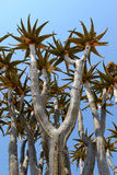 Quiver tree (Aloe dichotoma) in the Namib desert Stock Photos