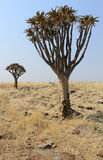Quiver tree (Aloe dichotoma) in the Namib desert landscape Stock Photos