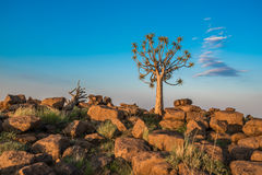 The quiver tree, or aloe dichotoma, Namibia Royalty Free Stock Photography