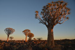 Quiver tree (Aloe dichotoma), Namibia Royalty Free Stock Photos