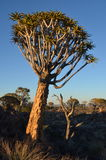 Quiver tree (Aloe dichotoma), Namibia Stock Photography