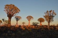 Quiver tree (Aloe dichotoma), Namibia Stock Photos