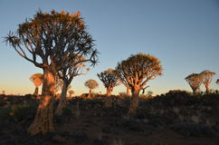 Quiver tree (Aloe dichotoma), Namibia Stock Images
