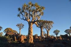 Quiver tree (Aloe dichotoma), Namibia Stock Image