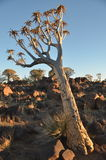 Quiver tree (Aloe dichotoma), Namibia Stock Photo