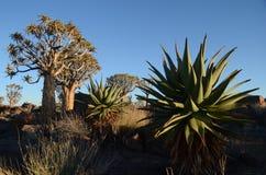 Quiver tree (Aloe dichotoma), Namibia Royalty Free Stock Photos