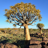 Quiver tree. (Aloe dichotoma) in summer day, Namibia, southern Africa Stock Photos