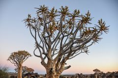 Quiver Tree - Aloidendron dichotomum Stock Photos