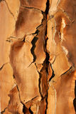 Quiver tree bark Royalty Free Stock Image