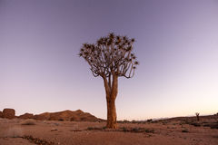 Quiver Tree at Blue Hour Royalty Free Stock Image