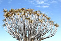Quiver tree branches blue sky, kokerboom, Namibia Stock Image