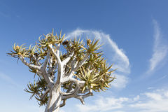 Quiver tree. And cloud, Namibia, Karas, Southern Africa royalty free stock images