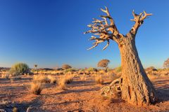 Quiver tree in desert Stock Images