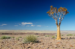 Quiver tree in the desert Stock Photography