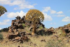 Quiver Tree and dolerite rocks in Namibia Royalty Free Stock Photography