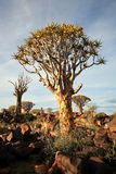 Quiver Tree Forest. The quiver tree or Aloe dichotoma is probably the best known aloe found in South Africa and Namibia Royalty Free Stock Photography