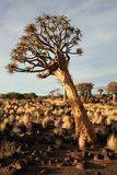 Quiver Tree Forest Royalty Free Stock Image
