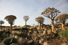 Quiver Tree Forest. The quiver tree or Aloe dichotoma is probably the best known aloe found in South Africa and Namibia Royalty Free Stock Image