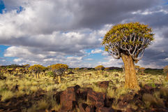 Quiver tree forest Stock Images