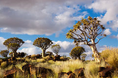 Quiver tree forest Royalty Free Stock Photo