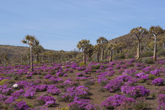 Quiver tree forest Stock Photography