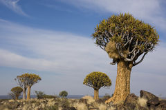 Quiver Tree forest Stock Image