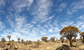 Quiver tree forest. In Namibia Royalty Free Stock Images