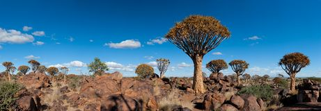 Quiver-tree forest (Aloe dichotoma) Royalty Free Stock Photography