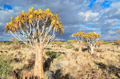 Quiver tree forest, kokerbooms in Namibia, Africa Stock Image