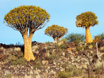 Quiver Tree Forest, Late Afternoon, Close to Keetmanshoop, Namibia Stock Photography
