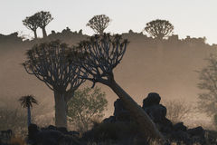Quiver tree forest during the morning dust in Keetmanshoop Namib. The quiver tree forest during the morning dust. Usually they grow individually but in Stock Images