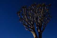 Quiver Tree Forest Stock Photos