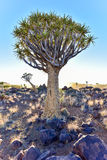Quiver Tree Forest - Nambia Stock Photo