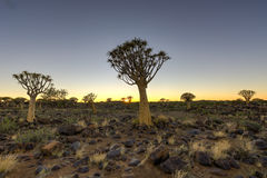 Quiver Tree Forest - Nambia Royalty Free Stock Photos