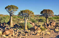 Quiver Tree Forest - Nambia Royalty Free Stock Images