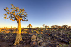 Quiver Tree Forest - Nambia Stock Photography