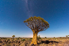Quiver Tree Forest - Nambia Royalty Free Stock Photography
