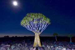 Quiver Tree Forest - Nambia Royalty Free Stock Image